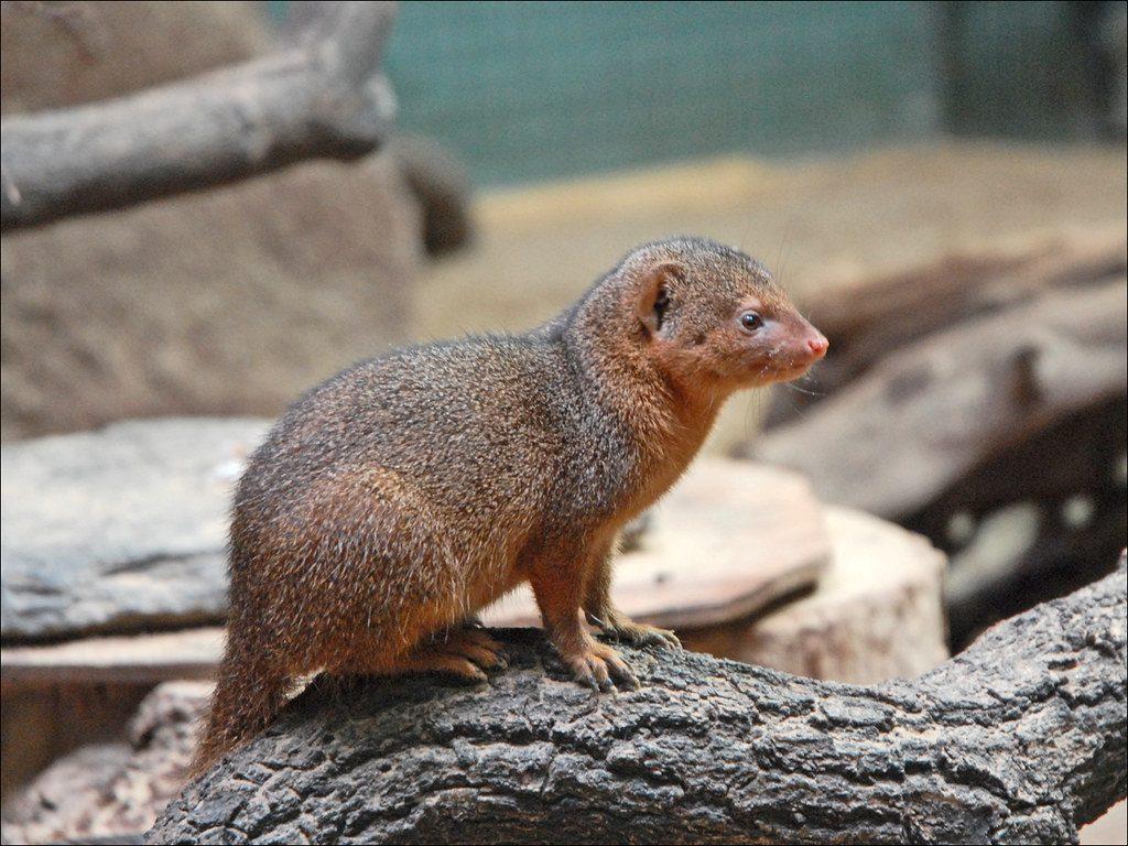mangouste-faune-guadeloupe