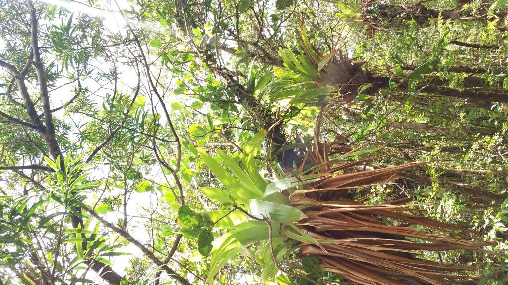 arbre-guadeloupe