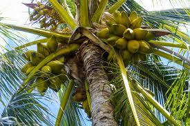 noix de coco guadeloupe
